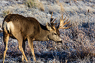 Mule deer buck with non-typical paddle-like antlers.