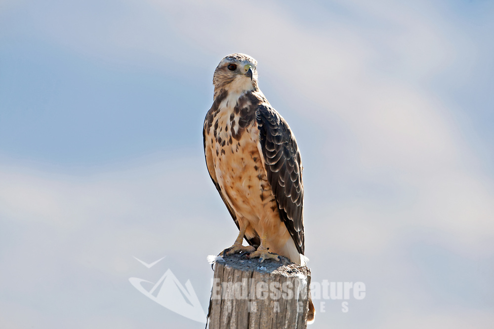 A Red Tailed Hawk perched on a post between two fields of wheat just over the border of Utah in Idaho.
