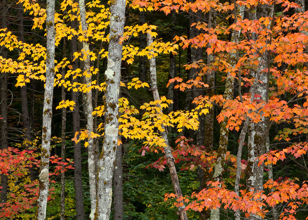 intimate autumn forest scene in the white mountain national forest in New Hampshire