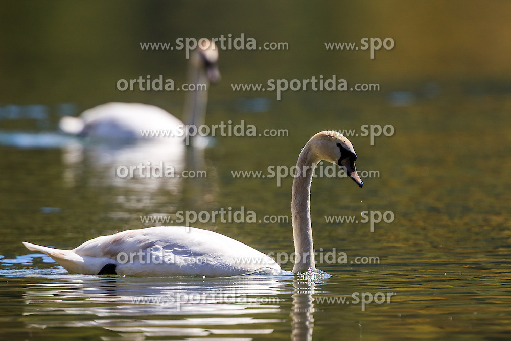 THEMENBILD - zwei Hoeckerschwaene, aufgenommen am 30. April 2016, am Zeller See, Zell am See, Oesterreich // two Mute swans at the Lake Zell, Zell am See, Austria on 2016/04/30. EXPA Pictures © 2016, PhotoCredit: EXPA/ JFK