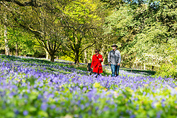 © Licensed to London News Pictures. 15/04/2014. Guildford, UK A couple walk through Bleuebell Woods. People enjoy the afternoon  sunshine at Winkworth Arboretum in Surrey today 15th April 2014. Photo credit : Stephen Simpson/LNP