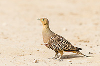 Male Namaqua Sandgrouse, Kgalagadi Transfrontier Park, Northern Cape, South Africa