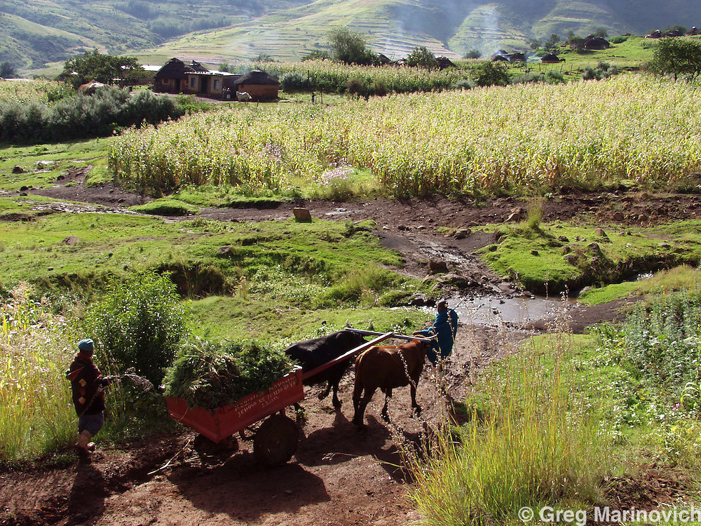 MAPOTSOE - APRIL 1: Village boys use an ox-drawn cart to transport a load of marijuana that was grown inbetween maize plants April 1, 2004 during the autumn harvest in the Mapotsoe district of Lesotho. Lesotho is one of the world's least developed countries and the illegal growing and sale of majiuana affords many rural families the chance to survive. (Photo by Greg Marinovich)