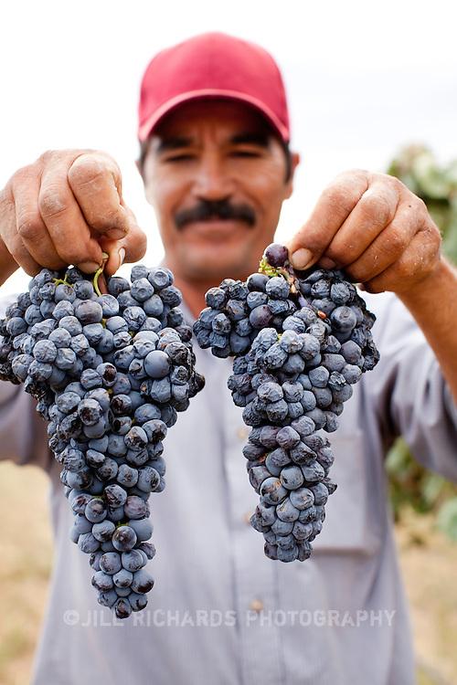 Ramone Salcido, of Pillsbury Wines, picking grapes on September 27, 2011 on his Wilcox, AZ vineyard.<br /> <br /> Photograph by Jill Richards<br /> www.jillrichardsphotography.com
