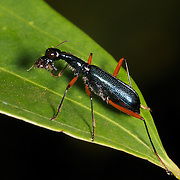 Neocollyris bonellii is a species of ground beetle in the family Carabidae. It was described by Guerin-Meneville in 1834
