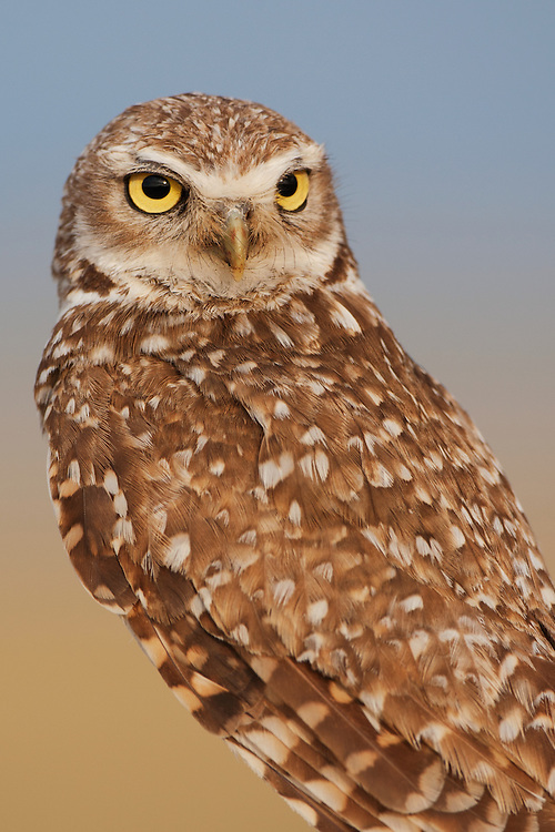 Stock photo of burrowing owl captured in Colorado.  Burrowing owls are diurnal, while most other owls are nocturnal.  Along with small mammals, these owls also eat fruits and seeds.