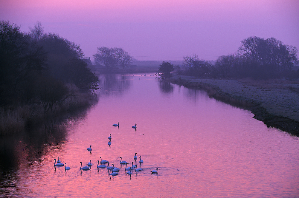 Mute swans on river at dawn?..?..NIALL BENVIE PORTFOLIO MUTE SWANS ON RIVER AT DAWN SWAN CYGNUS OLOR EUROPE SCOTLAND ANGUS MONTROSE BASIN SOUTH ESK WATER BIRD HERD HORIZONTAL TRANQUILITY PEACEFUL ENVIRONMENT PINK BLUE WILD ADULT MANY GROUP SWIMMING LOCH LAKE ESTUARY 2003 MARCH SPRING MORNING MIST FOG SWT..?. . .
