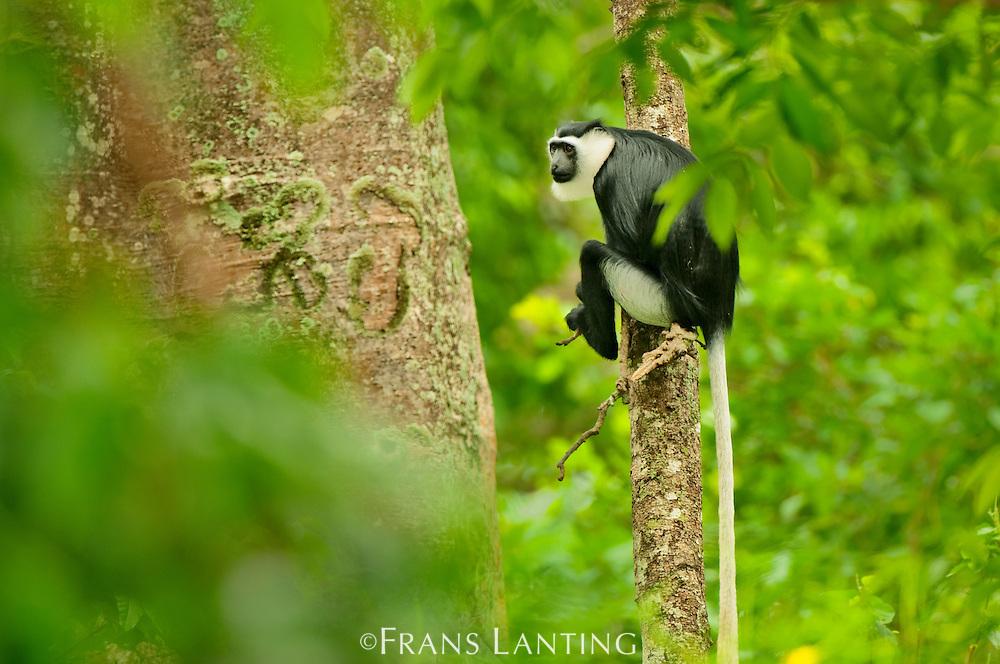 Black-and-white Colobus monkey, Boabeng-Fiema Monkey Sanctuary, Ghana