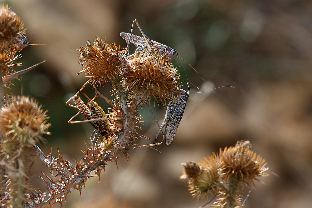 Migratory Locusts feeding on vegetation, Bagerova Steppe, Kerch Peninsula, Crimea, Ukraine