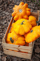 Squash 'Yellow Patty Pan' in a wooden box