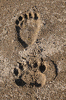 Front and rear paw print of an Alaskan brown bear, Ursus arctos horribilis, on the shore, Geographic Harbor, Katmai National Park, Alaska.