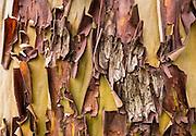 Pattern in tree bark of Pacific Madrone or Madrona (Arbutus menziesii). Anacortes, Fidalgo Island, Washington, USA.