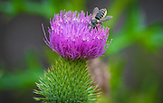 A bee collects nectar from the flowery head of a spear thistle. The herbaceous plant of the daisy family is known for its prickly stem and leaves and rounded heads of purple flowers. (Sam Lucero photo)
