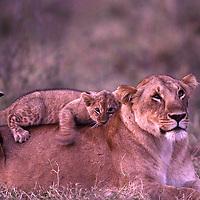 Africa, Kenya, Masai Mara Game Reserve, Adult  Lion cub (Panthera leo) plays on lioness' back in Musiara Marsh