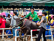 "04 OCTOBER 2017 - CHONBURI, CHONBURI, THAILAND: A ""jockey"" on a water buffalo leaves the starting gate during buffalo races in Chonburi. Contestants race water buffalo about 100 meters down a muddy straight away. The buffalo races in Chonburi first took place in 1912 for Thai King Rama VI. Now the races have evolved into a festival that marks the end of Buddhist Lent and is held on the first full moon of the 11th lunar month (either October or November). Thousands of people come to Chonburi, about 90 minutes from Bangkok, for the races and carnival midway.   PHOTO BY JACK KURTZ"