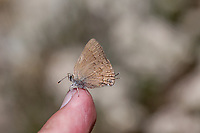 Satyrium saepium chalcis (Hedgerow Hairstreak) at Upper Big Tujunga Canyon, Angeles NF, Los Angeles Co, CA, USA, on 10-Jul-15