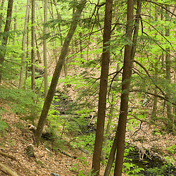 Hemlock trees dominate one side of Gulf Brook Ravine in Pepperell, MA.  Early spring. Ravine was formed by the Wekepeke Fault.