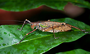 Unidentified katydid from La Selva, Ecuador.