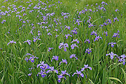 Iris (Iris versicolor) in wet meadow by the roadside<br /> Lunenberg<br /> Nova Scotia<br /> Canada