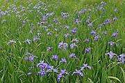 Iris (Iris versicolor) in wet meadow by the roadside<br /> Lunenberg<br /> Nova Scotia<br /> Canada
