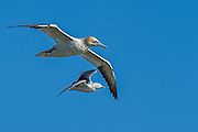 Northern Gannet - Morus bassanus, Black-legged Kittiwake - Rissa tridactyla flying together
