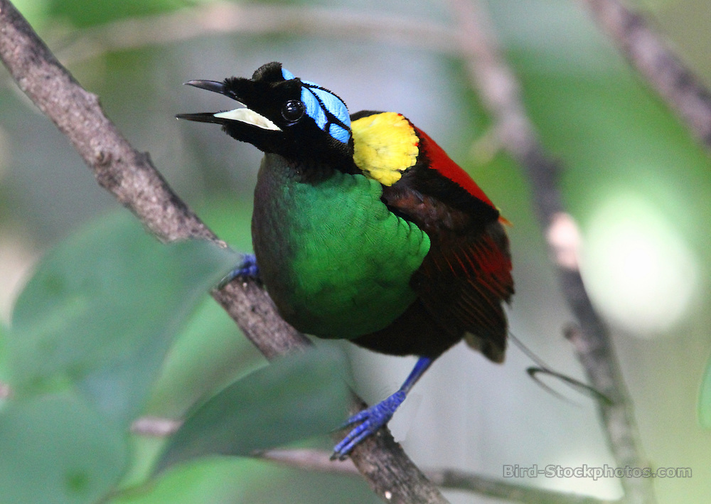 Wilson's Bird-of-paradise, Diphyllodes respublica, Papua New Guinea, by Jonathan Rossouw