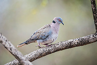African Mourning Dove, Kruger National Park, Limpopo, South Africa