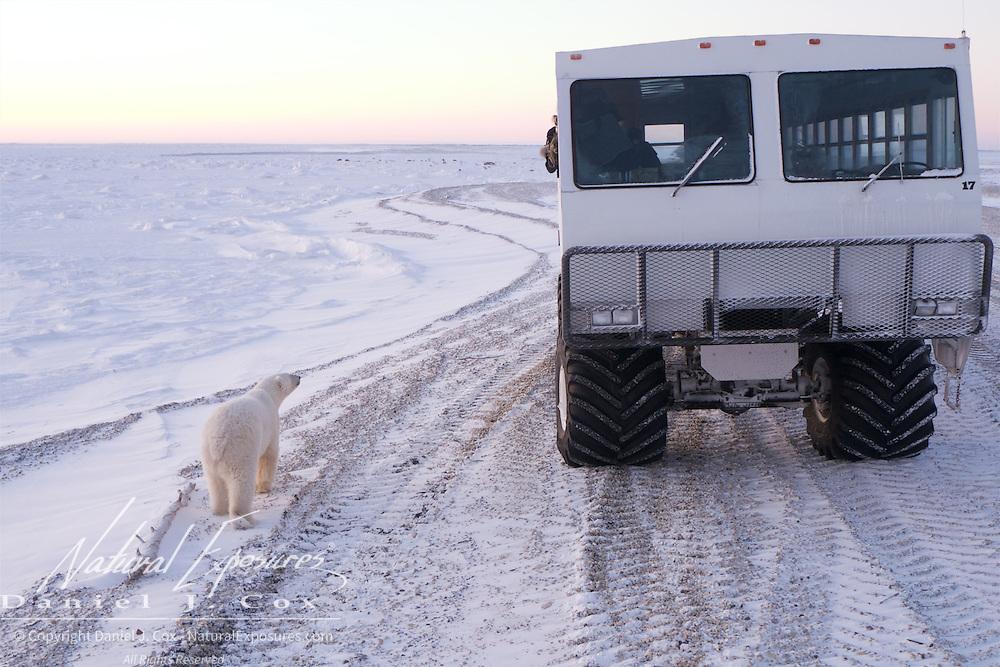 A polar bear investigates a Tundra Buggy on the shores of Hudson Bay, Cape Churchill, Manitoba. .