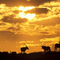 South Africa, Kgalagadi Transfrontier Park, Herd of Adult Gemsbok(Oryx gazella) silhouetted on sand dune at dawn
