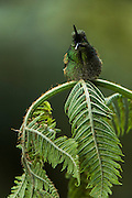 Buff-Tailed Coronet (Boissonneaua flavescens)<br /> West Slope of Andes<br /> Ecuador<br /> South America<br /> Habitat & Range: Cloud forest, elfin forest, and páramo of Colombia, Ecuador & Venezuela