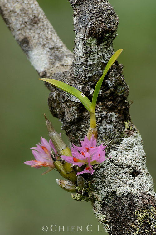 Dendrobium bracteosum, an epiphytic orchid blooms in submontane forest in eastern Halmahera. North Maluku, Indonesia.