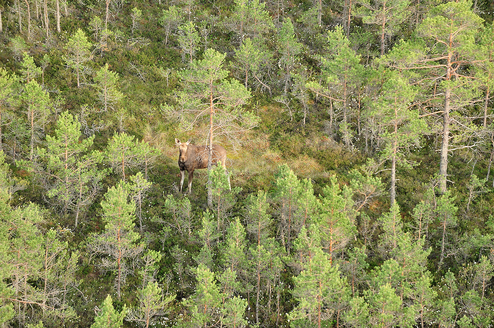 Elk (Alces alces). Kemeri National Park, Latvia