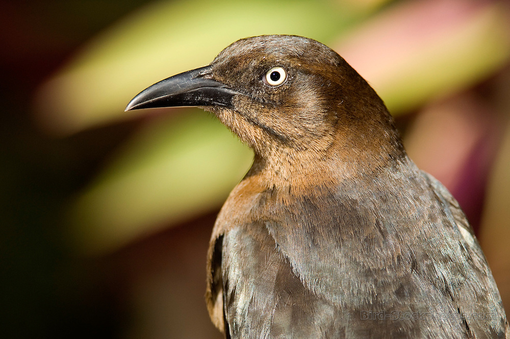 Great-tailed Grackle, Quiscalus mexicanus, Puerto Vallarta, Mexico, by Owen Deutsch