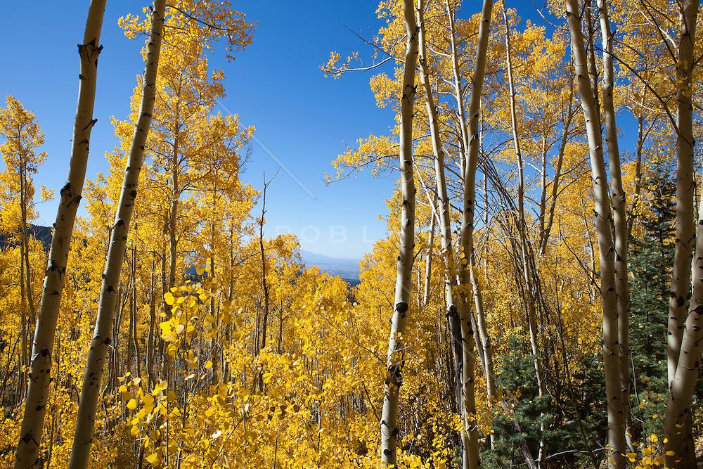 Fall colors at Aspen Vista Trail in Santa Fe, NM