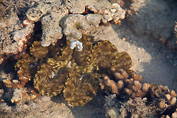 Stripes and spots on the colourful mantle of a giant clam in a reef on Augustus Island.