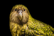 Portrait of Sirocco, a critically endangered kakapo parrot from New Zealand