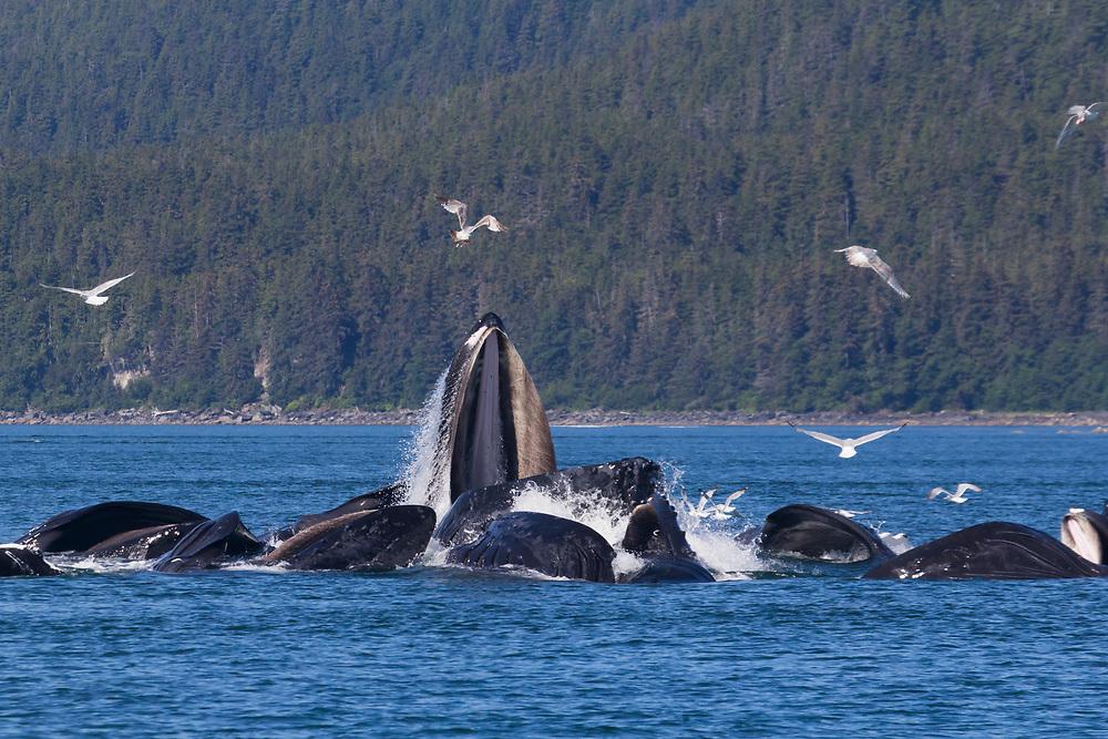 A group of humpback whales (Megaptera Novaeangliae) bubblenet feeding near Juneau.