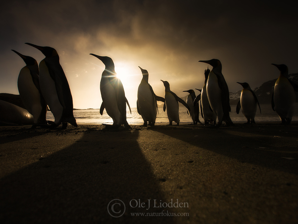 King Penguins (Aptenodytes patagonicus) on beach at sunrise in South Georgia.