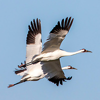 2018 Protecting Whooping Cranes