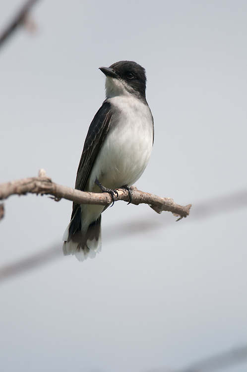 Eastern Kingbird perched on a branch in a tree at Tioga-Hammond Lakes in PA.