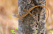 Oriental garden lizard (Calotes versicolor, male) from Tadoba NP, India.