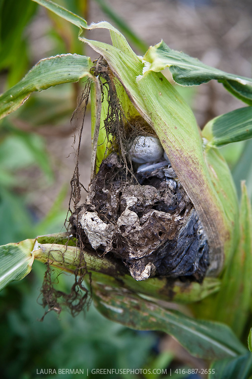 The fungus growing on ears of corn known as corn smut (Ustilago maydis) is also a delicacy called Huitlacoche.