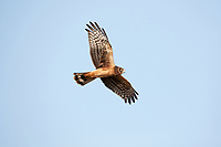 An immature Northern Harrier flys over Bear River Bird Refuge one of the wetlands in northern Utah.