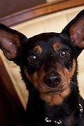 Nibbles, MinPin Rottweiler Portrait