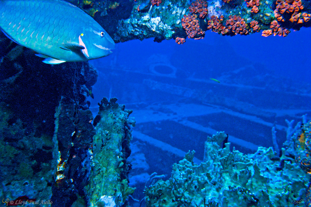 A 20-inch terminally differentiated male Stoplight Parrotfish (Sparisoma viride) glides 80 feet below the surface admist red cup corals (Tubastrea coccinea) and grey fire corals (Millepora alcicornis) now adorning the wreckage of the Royal Mail Ship Rhone.  The RMS Rhone sunk in the hurricane of 1867 after missing her mark by less than 30 feet and took her cargo of mail, cotton and supplies to the bottom of Salt Island in the British Virgin Islands.