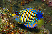 Regal Angelfish (Pygoplites diacnthus) photographed in the Liberty shipwreck in Tulamben, Bali, Indonesia.