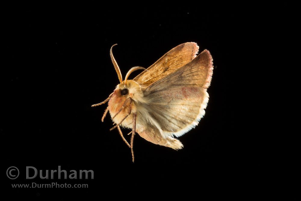 A moth flies at night near the Big Hole River in Montana. Photographed via permit at Big Hole National Battlefield.