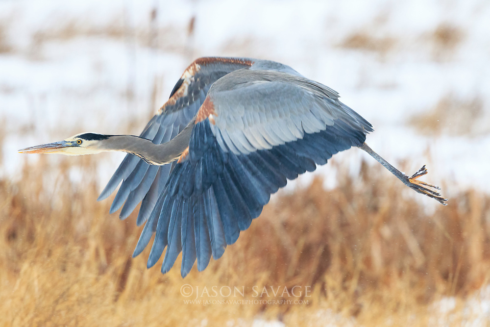 Great Blue Heron at Lee Metcalf National Wildlife Refuge