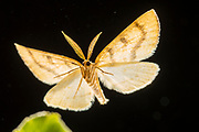A moth flying at night in a forest in Central Oregon. © Michael Durham