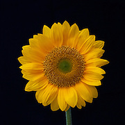 A picture of a single yellow sunflower with a black background. Missoula Photographer